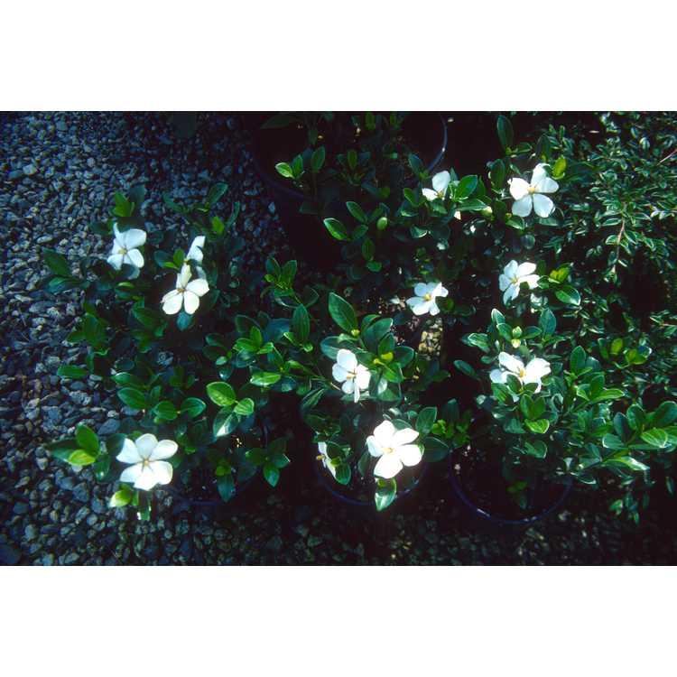 Gardenia jasminoides 'Kleim's Hardy' - Cape jessamine