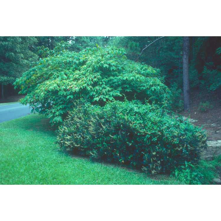 Clethra alnifolia 'Hummingbird' - dwarf summersweet clethra