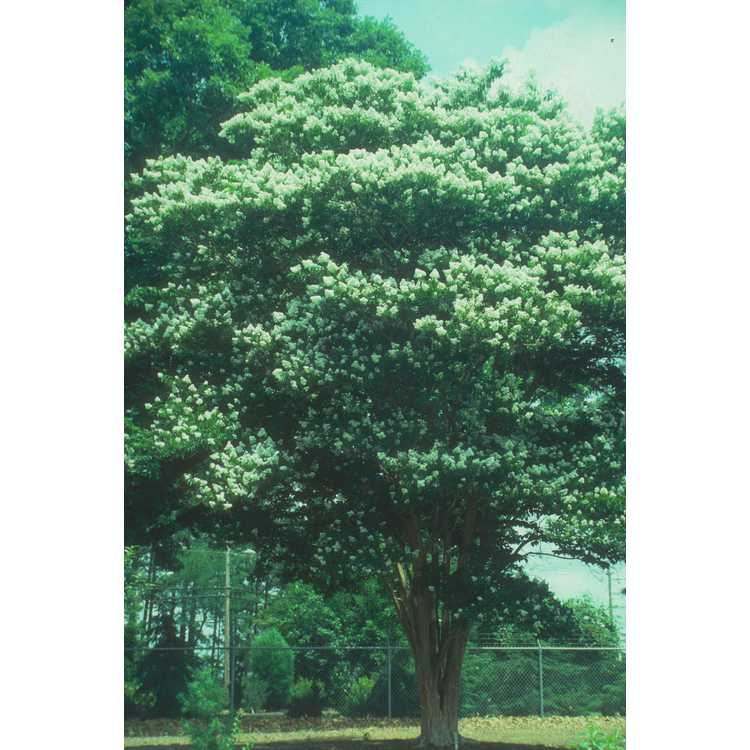 Lagerstroemia fauriei 'Fantasy' - Japanese crepe myrtle