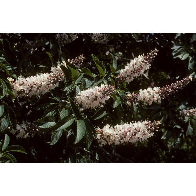 Aesculus californica 'Canyon Pink'