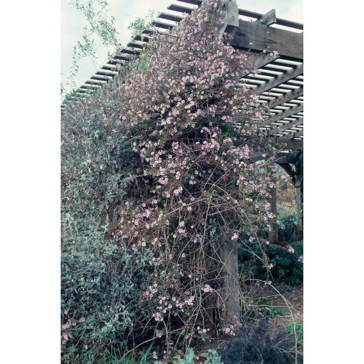 Ampelaster carolinianus - climbing aster