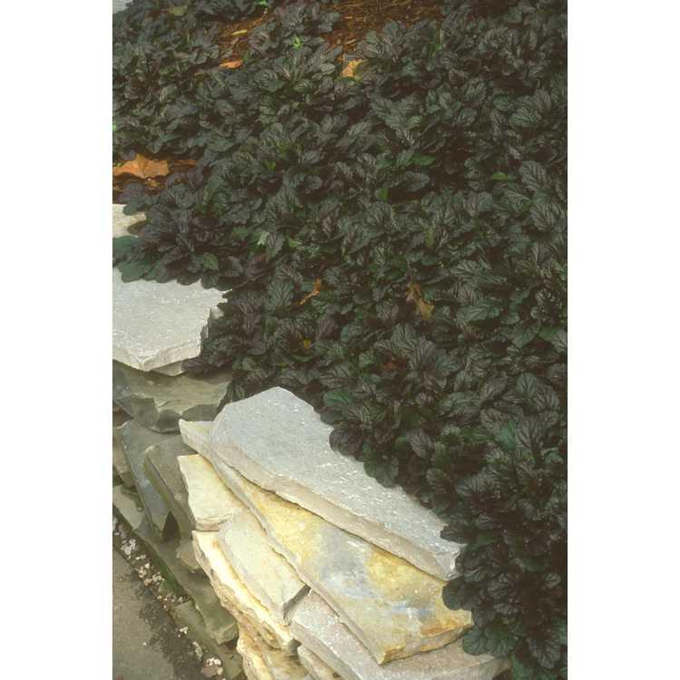 Ajuga reptans - carpet bugle