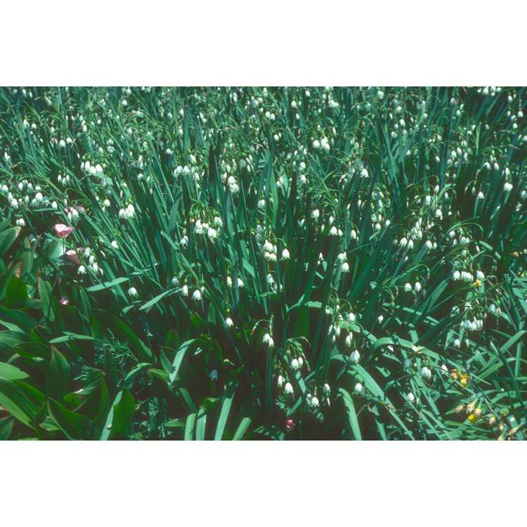 Leucojum aestivum - summer snowflake