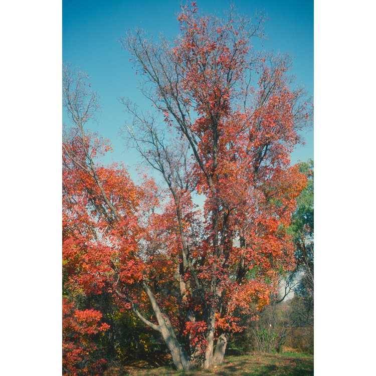 Cotinus obovatus - American smoketree