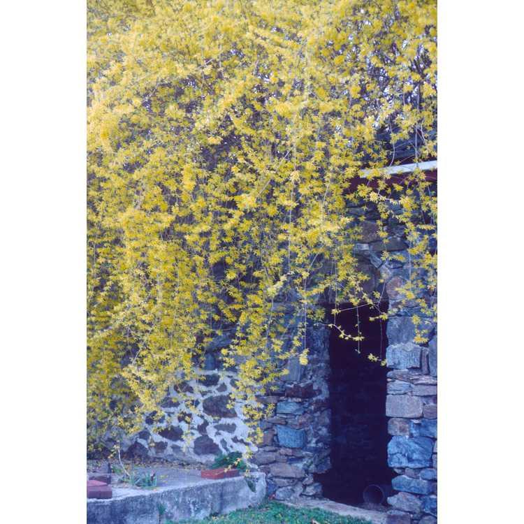 Forsythia ×intermedia - border forsythia