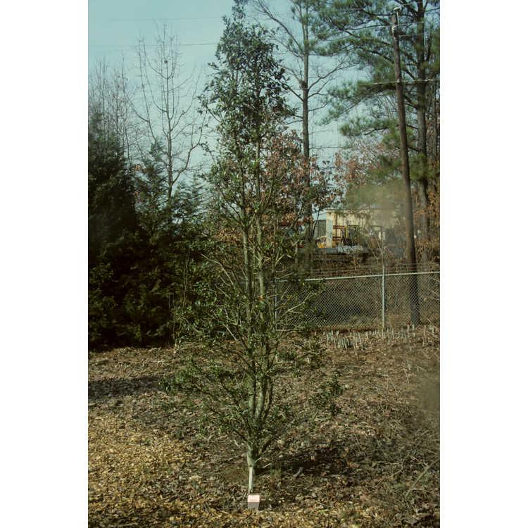 Ilex 'Carolina Sentinel' - NCSU hybrid evergreen holly