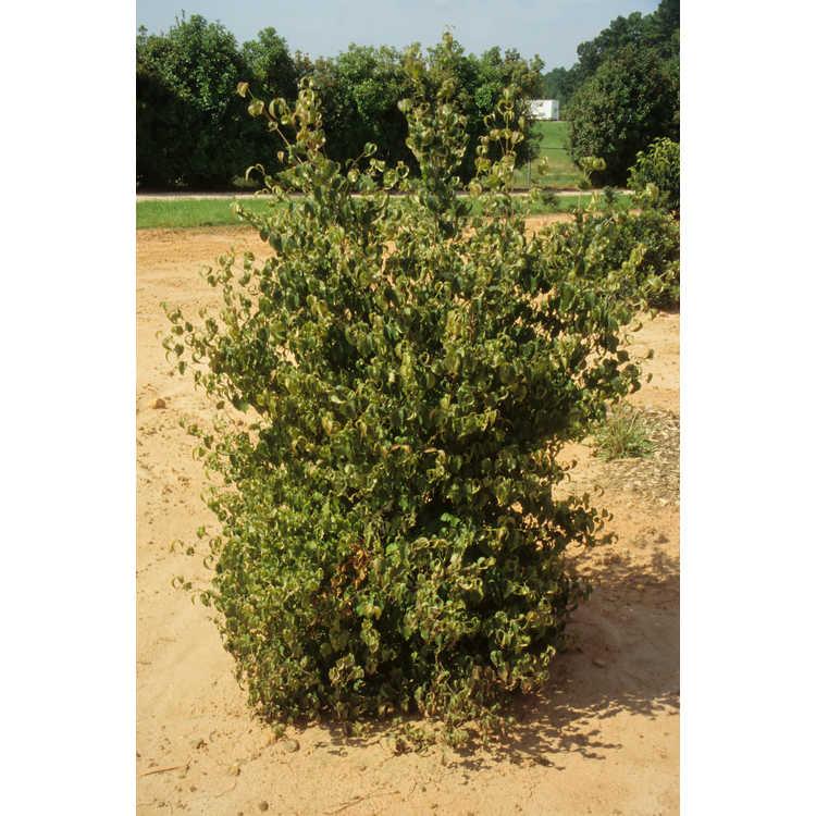 Cornus kousa 'Little Beauty' - compact Kousa dogwood