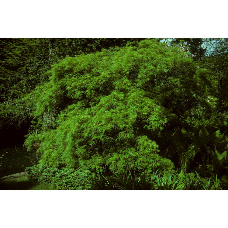 Acer palmatum 'Waterfall' - green lace-leaf Japanese maple