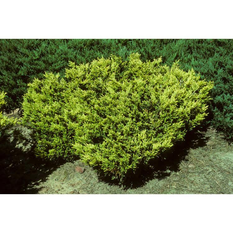 Juniperus horizontalis 'Noslg' - Lime Glow golden creeping juniper