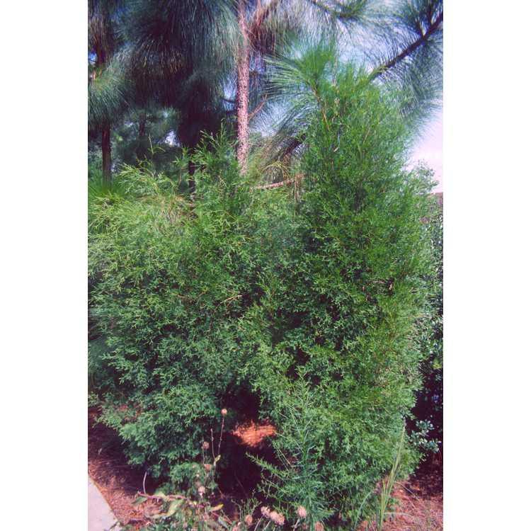 Chamaecyparis thyoides - Atlantic white-cedar