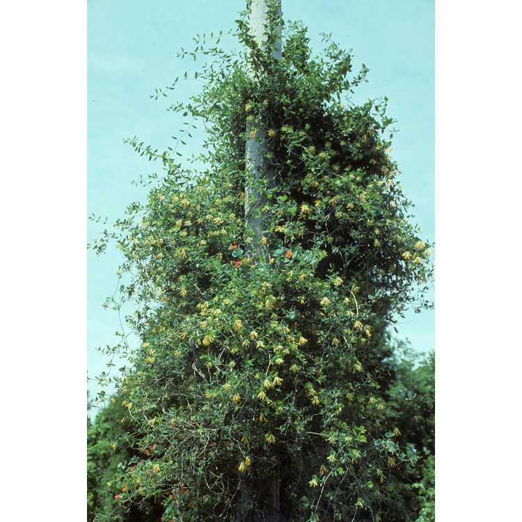 Lonicera sempervirens f. sulphurea - yellow trumpet honeysuckle