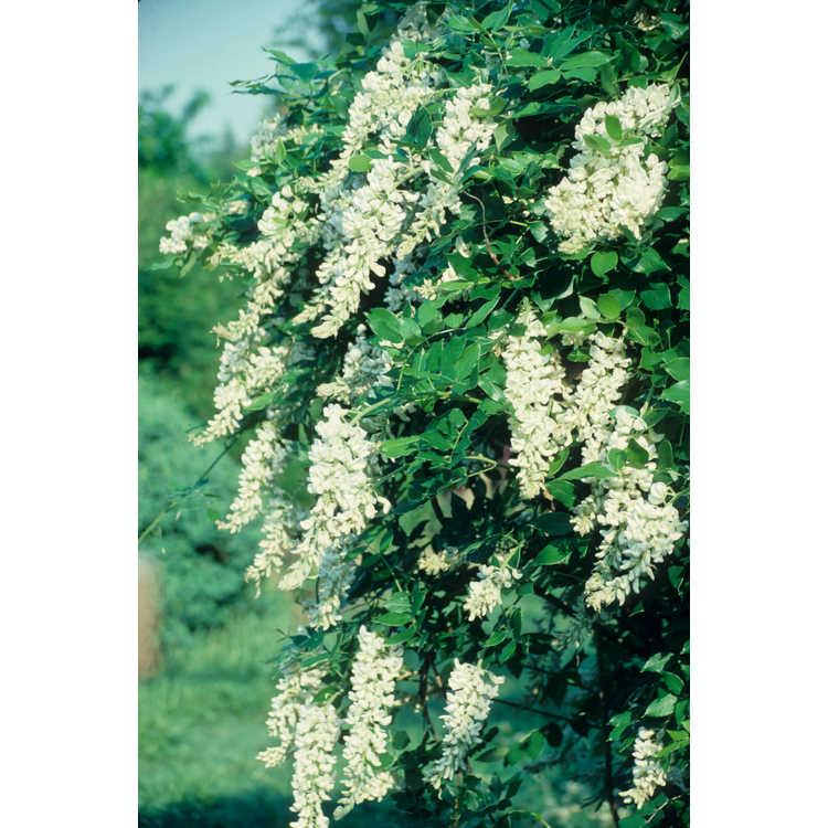 Wisteria macrostachya 'Clara Mack' - white Kentucky wisteria