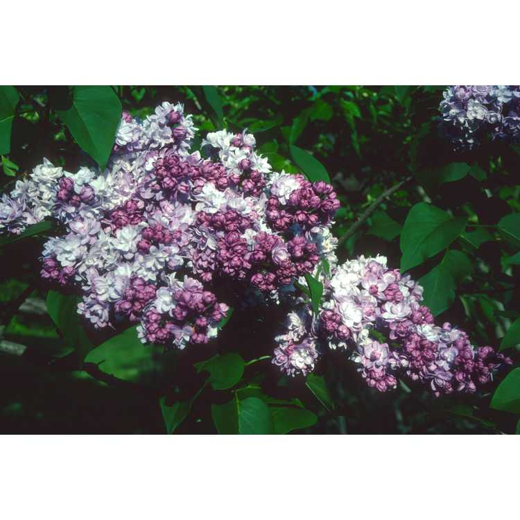 Syringa - lilac