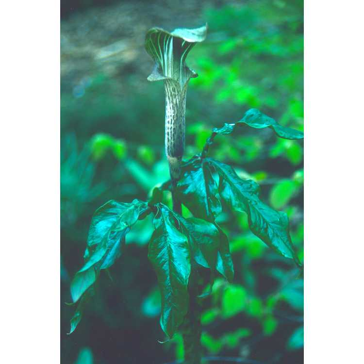 Arisaema - cobra lily and Jack-in-the-pulpit