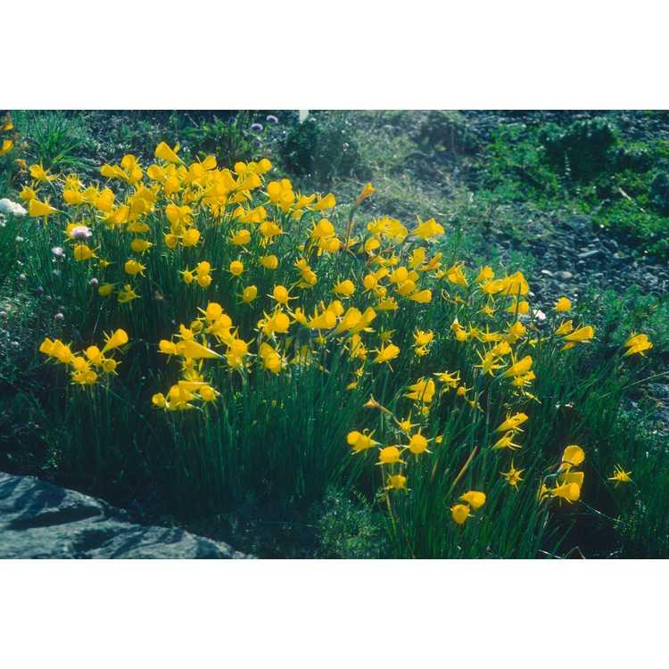 Narcissus bulbocodium var. conspicuus - hoop petticoat daffodil