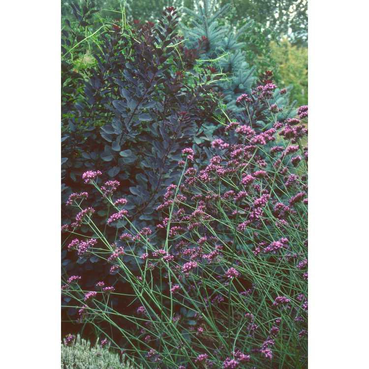 Verbena bonariensis
