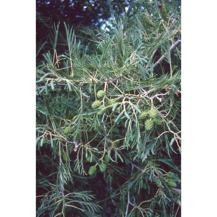Alnus glutinosa 'Imperialis' - royal alder
