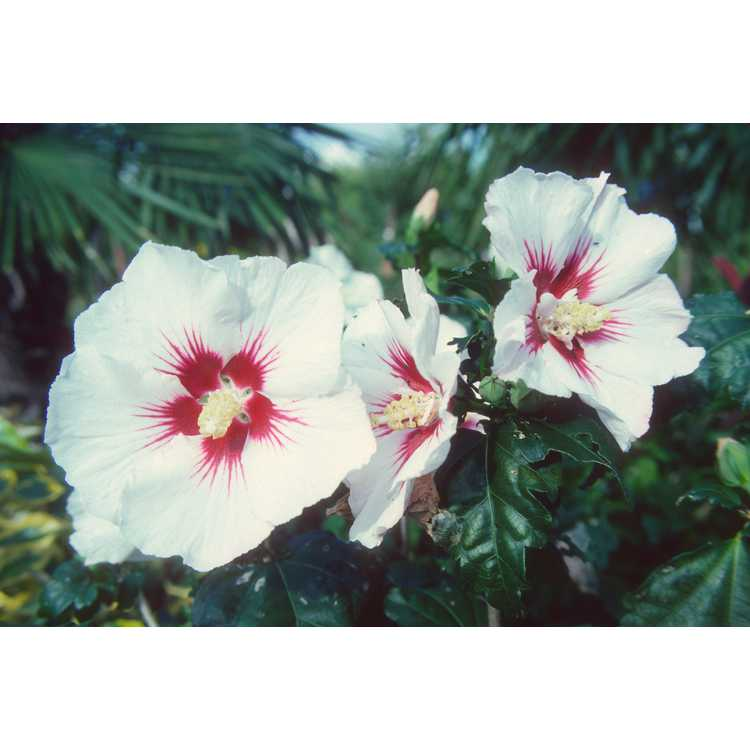 Hibiscus syriacus 'Helene' - rose-of-Sharon