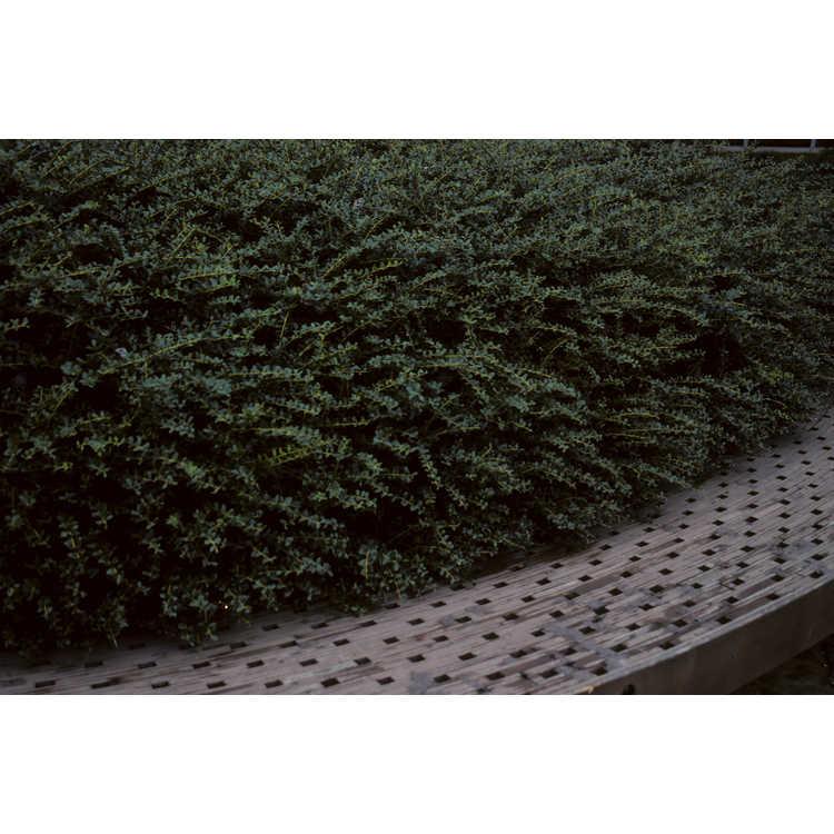 Ilex crenata - Japanese holly