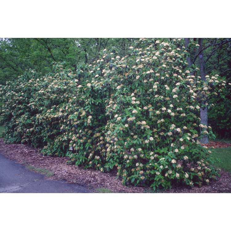Viburnum ×rhytidophylloides 'Alleghany' - lantanaphyllum viburnum