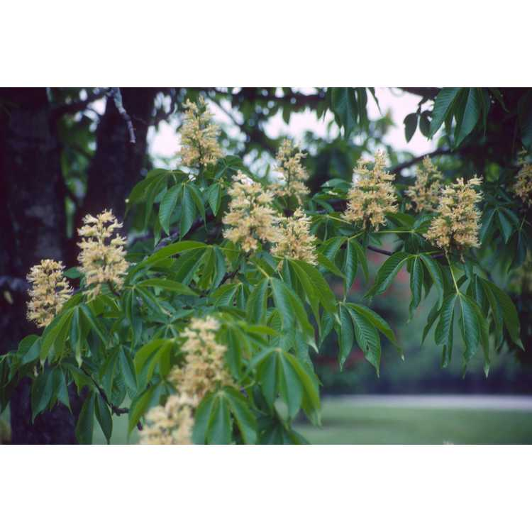 Aesculus glabra var. glabra - Ohio buckeye