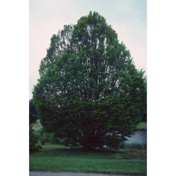 Carpinus betulus 'Fastigiata' - upright European hornbeam