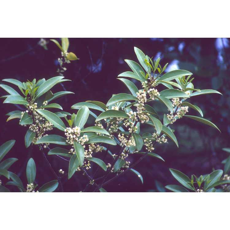 Osmanthus americanus - wild olive