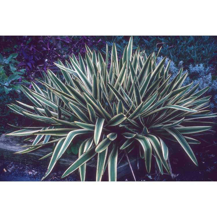 Yucca filamentosa 'Golden Sword' - variegated Adam's needle