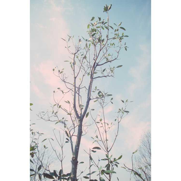 Magnolia virginiana var. australis 'Milton' - evergreen sweet bay magnolia