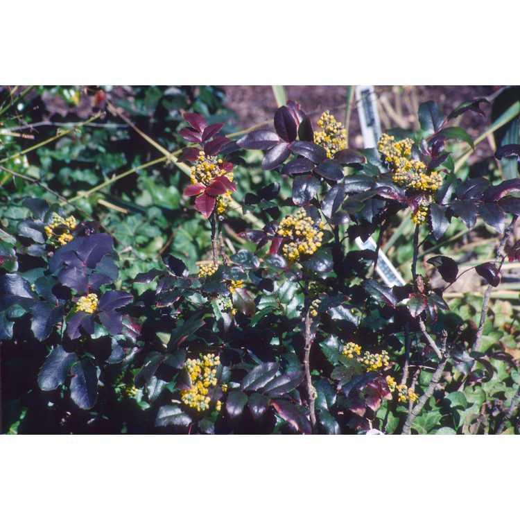 Mahonia aquifolium 'Orange Flame'