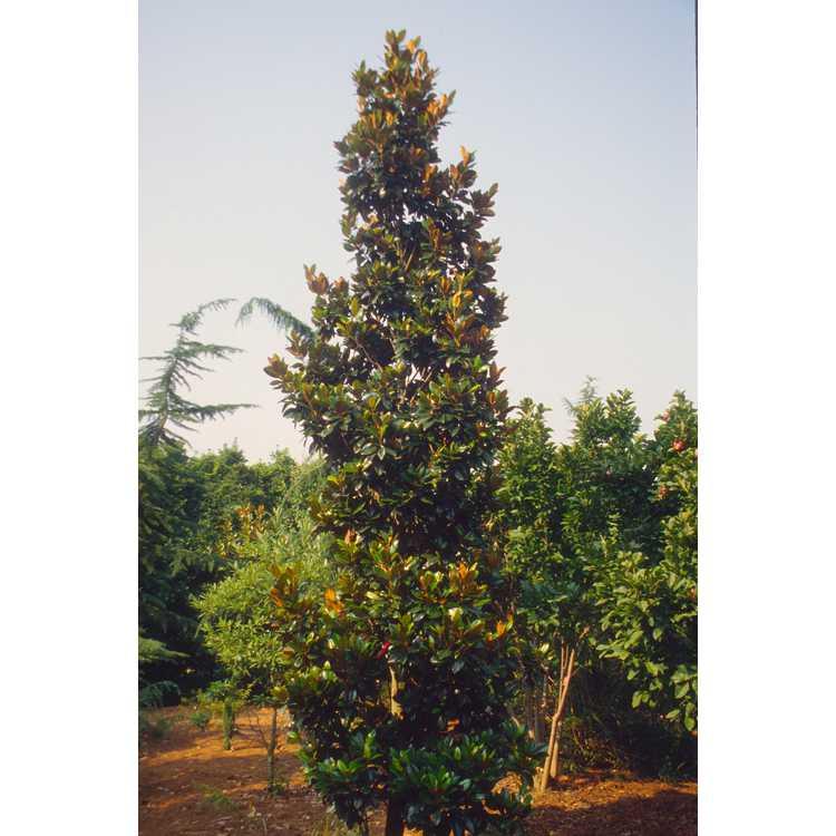 Magnolia grandiflora 'Hasse' - upright Southern magnolia