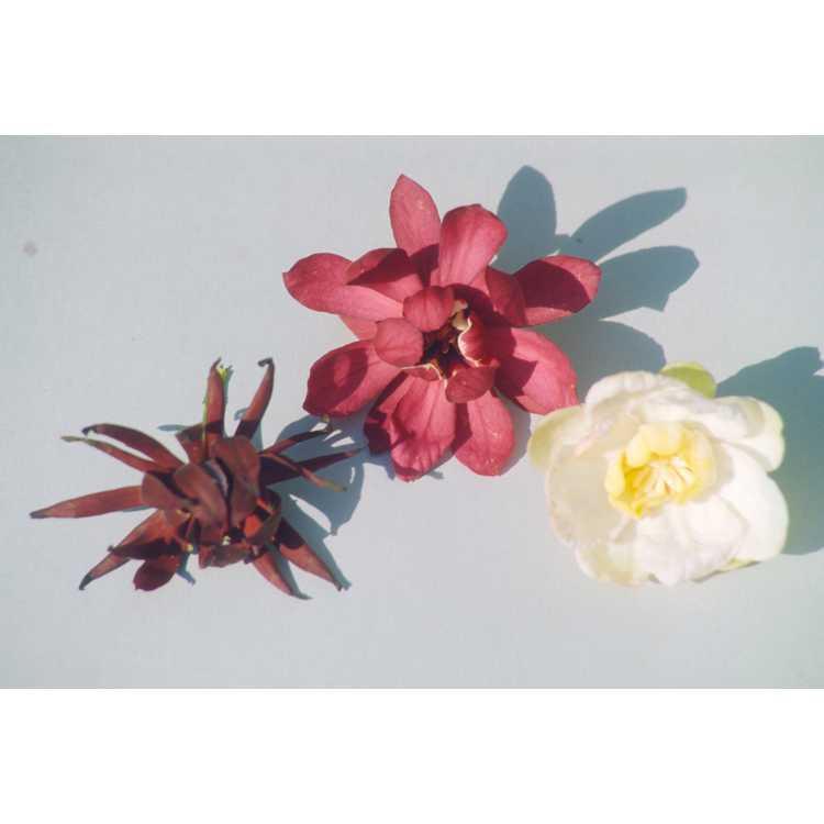 Calycanthus ×raulstonii 'Hartlage Wine'