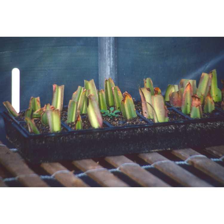 Eucomis - pineapple-lily
