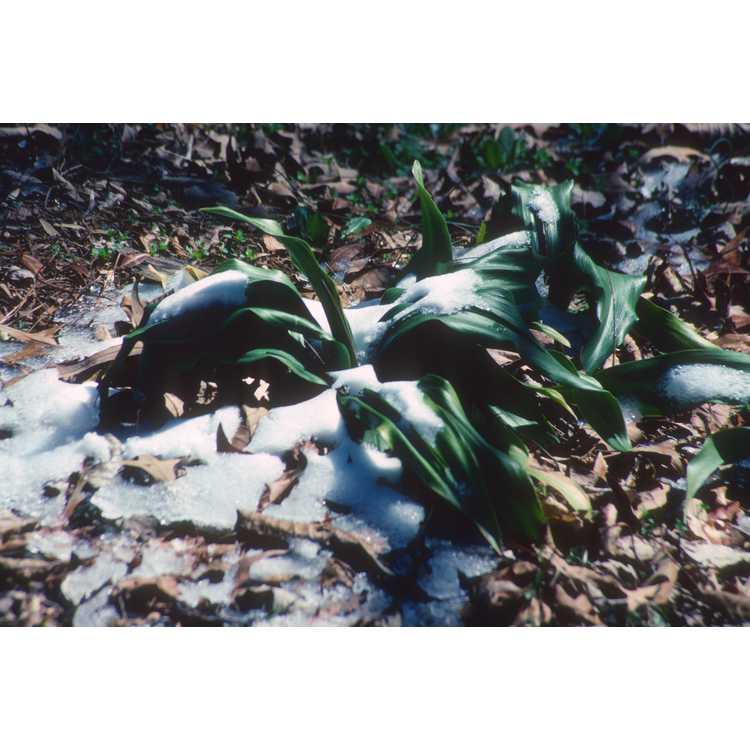 Helleborus - hellebore