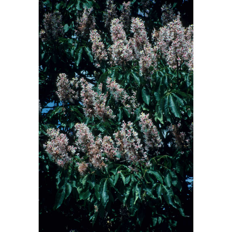 Aesculus indica 'Sydney Pearce' - pink Indian horse chestnut