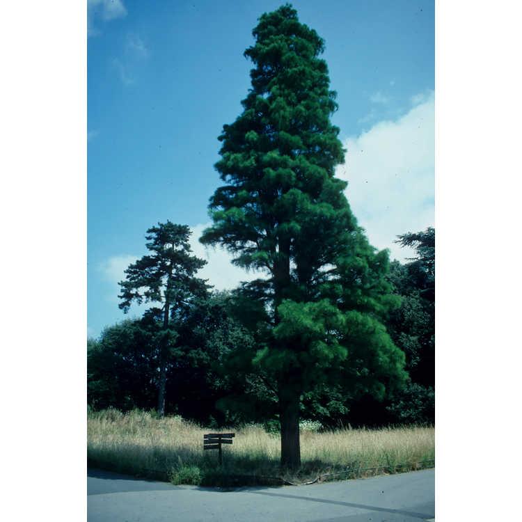 Taxodium distichum var. imbricatum - pond cypress