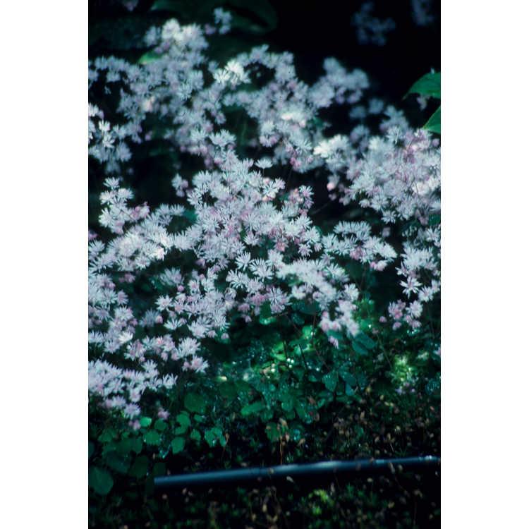 Thalictrum kiusianum - meadow rue