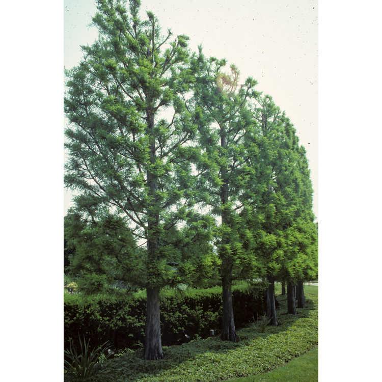 Taxodium - Swamp Cypress