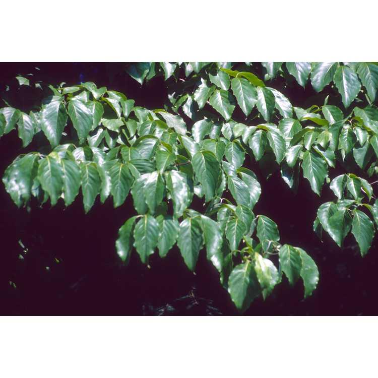 Halesia tetraptera var. tetraptera - Carolina silverbell