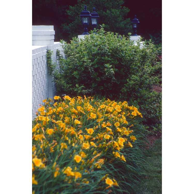 Hemerocallis 'Stella de Oro' - daylily