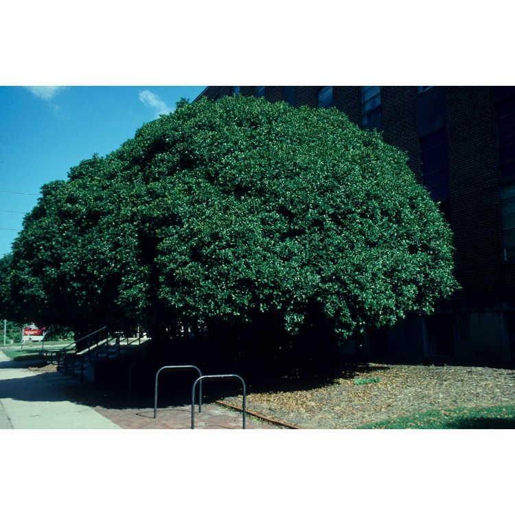 Osmanthus ×fortunei 'San Jose' - Fortune's osmanthus