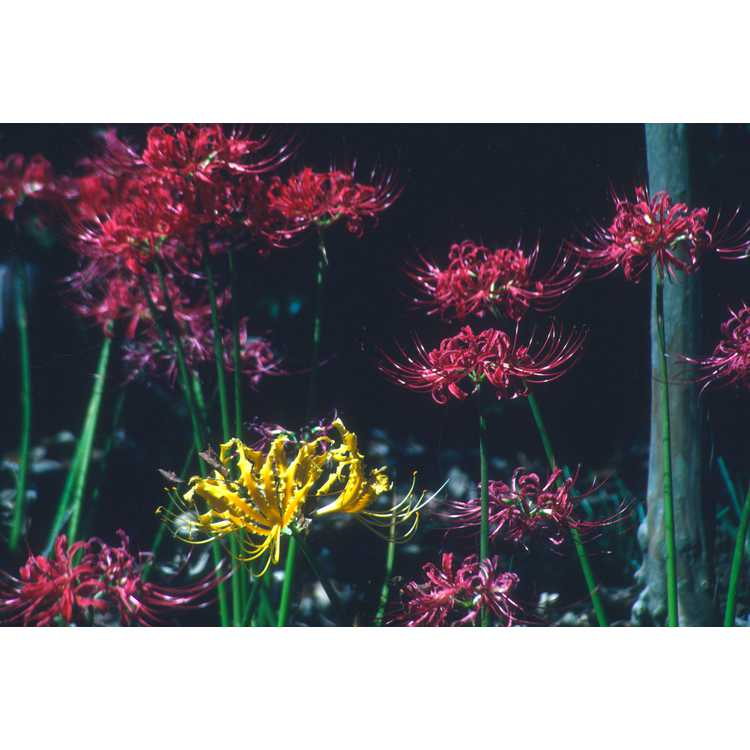 Lycoris radiata - red spider lily