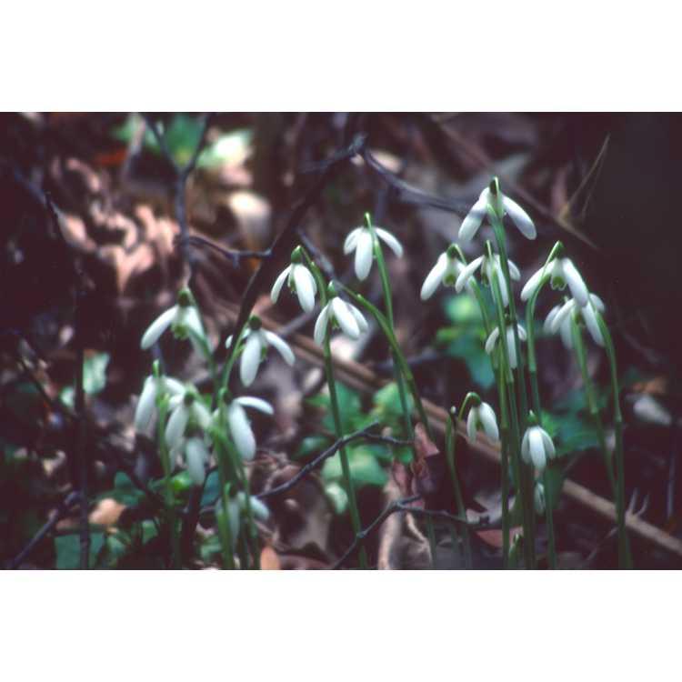 Galanthus reginae-olgae - Queen Olga's snowdrop