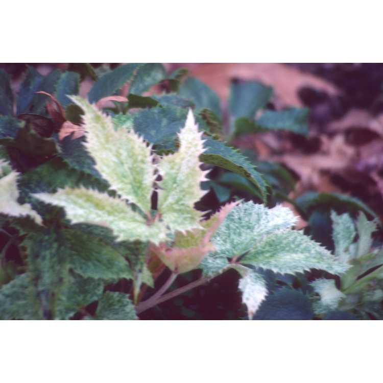 Helleborus ×sternii - Stern's hybrid hellebore