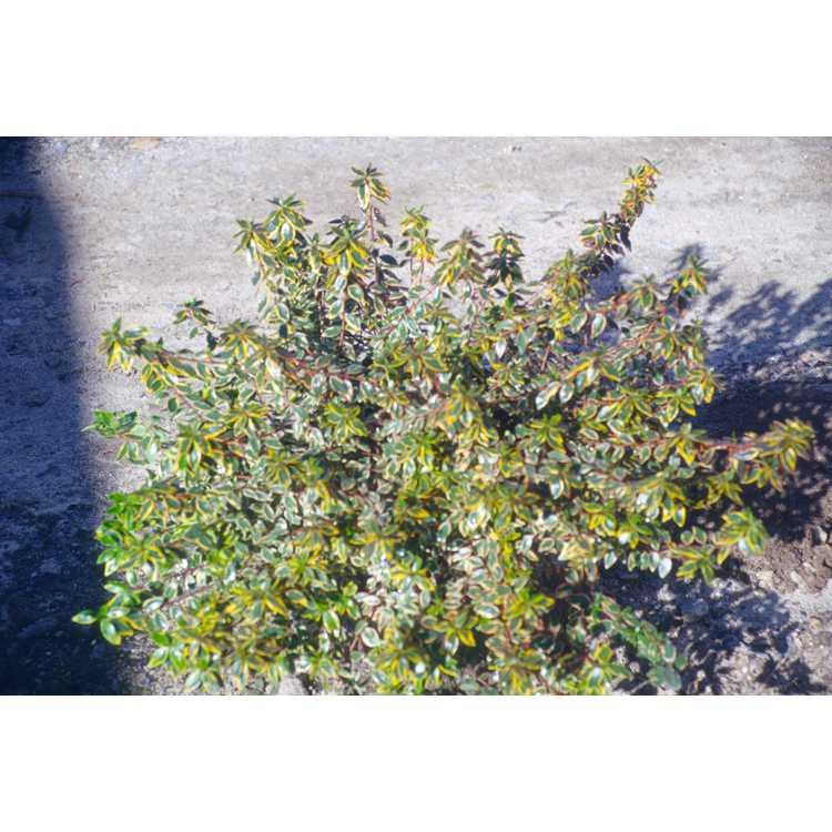 Abelia ×grandiflora 'Sunrise'